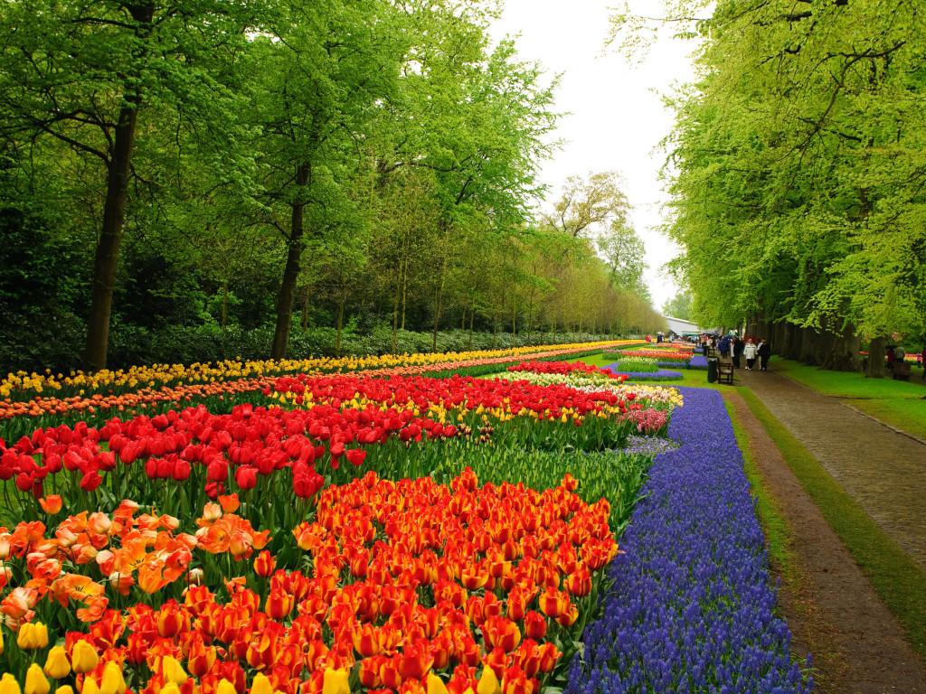 den-ha-lan-kham-pha-mua-hoa-tulip-ruc-ro-6